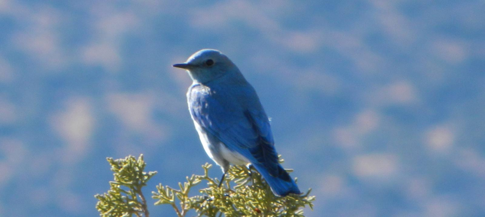 Mountain Bluebird On Juniper